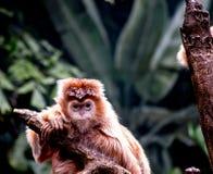 Ebony Langur Monkey auf einer Niederlassung Lizenzfreies Stockfoto
