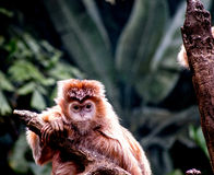 Ebony Langur Monkey on a branch Royalty Free Stock Photo