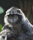 Ebony Langur Monkey med hans stängda ögon fotografering för bildbyråer