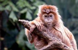Ebony Langur Monkey Sticks Its-Zunge heraus Lizenzfreie Stockfotografie