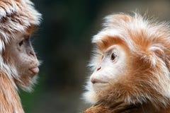 Ebony Langur Pair Bronx Zoo 2017 Reihe Lizenzfreie Stockfotografie