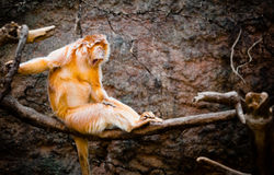 Ebony Langur Royalty Free Stock Photo
