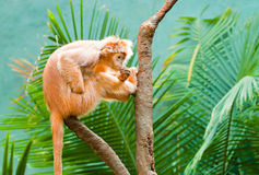 Ebony Langur Royalty Free Stock Image