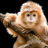 Ebony Langur X photos stock
