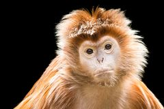 Ebony Langur XII photographie stock