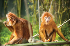 Ebony langurs, orange monkeys Royalty Free Stock Photography