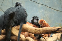 Ebony leaf monkey Royalty Free Stock Images