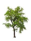Ebony tree (Diospyios rhodcalyx) Stock Photography