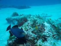 Ebony Triggerfish off Isla Mujeres, mexico Stock Images