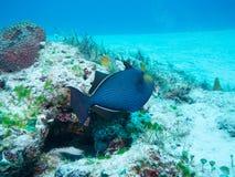 Ebony Triggerfish off Isla Mujeres, mexico Stock Photos