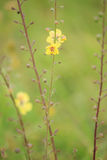 Ebracteatus de Samolus - brookweed de Bractless Photos libres de droits