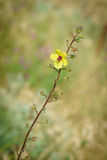 Ebracteatus de Samolus - brookweed de Bractless Photo stock