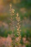 Ebracteatus del Samolus - brookweed de Bractless Foto de archivo libre de regalías