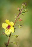 Ebracteatus del Samolus - brookweed di Bractless Fotografia Stock Libera da Diritti
