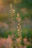 Ebracteatus Samolus - Bractless Στοκ φωτογραφία με δικαίωμα ελεύθερης χρήσης