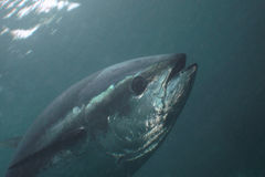 Żebro tuńczyk obraz stock