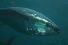 Żebro tuńczyk Fotografia Royalty Free