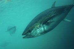 Żebro tuńczyk zdjęcie royalty free