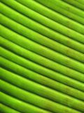 Żebrujący Bananowy liść obrazy stock