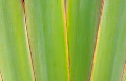 Żebrujący liść lub Naukowy imię jesteśmy podróżnikami palmowymi Obraz Royalty Free