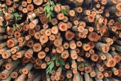 Ecalyptus tree in stock Royalty Free Stock Image