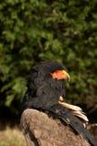 Ecaudata de Terathopius d'aigle de Bateleur Photographie stock libre de droits