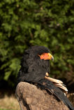 Ecaudata de Terathopius del águila de Bateleur Fotografía de archivo libre de regalías