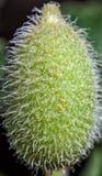 Ecballium Elaterium Stock Image