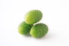 Ecballium isolated on white background. Green Ecballium isolated on white background Royalty Free Stock Images