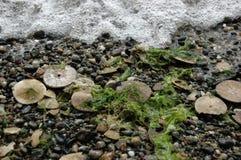 Eccentric sand dollars, Puget Sound, Washington state Royalty Free Stock Photos