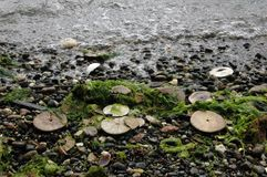 Eccentric sand dollars, Puget Sound, Washington state Royalty Free Stock Photo