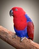 Ecelectus parrot Stock Image