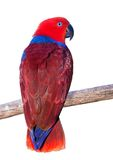 Ecelectus parrot Royalty Free Stock Photography