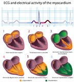 ECG explained. Connection between ECG and electrical activity of the heart, eps8 Royalty Free Stock Photo