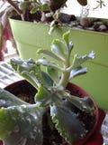 Echevariabladeren met dauwdalingen Stock Afbeeldingen
