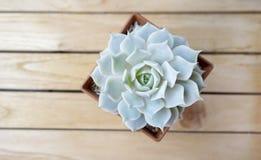 Echeveria多汁植物植物顶视图  图库摄影