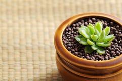 Echeveria植物 免版税库存照片