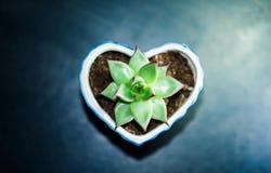 Echeveria agavoides ` Sirius ` Royalty-vrije Stock Fotografie