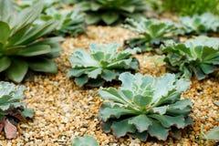 Echeveria 'azul acena' no jardim pela baía Imagens de Stock Royalty Free