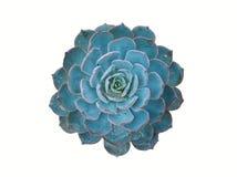 echeveria blu isolato Fotografia Stock