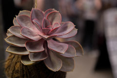 Echeveria cactus flower coconut pot Stock Photo