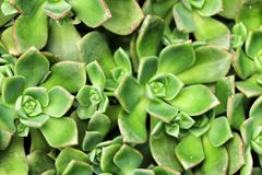 Echeveria cactus plants in the garden stock image