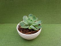 Echeveria cactus, in small white pot for decoration, with green background. Succulent cactus plant, nature and botany, flora and environment Stock Images