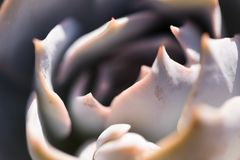 The Echeveria. Closeup of a Echeveria in a garden, macro photography, plant from desert areas royalty free stock photography