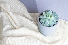 Echeveria colorata, rare succulent flower in a grey pot on knitted blanket or plaid, minimal style, indoors, cozy home stock photos