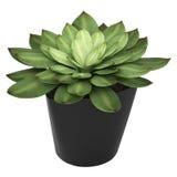 Echeveria, das in einem Behälter wächst Stockbilder