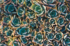 Echeveria dessert plant Stock Photos