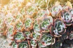 Echeveria elegans,墨西哥雪球,墨西哥宝石,白墨西哥人 免版税图库摄影