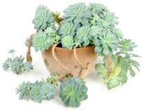 Echeveria Elegans in Flower Pot Royalty Free Stock Photos