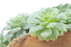 Echeveria Elegans (Hen and Chicks) Plant Stock Images